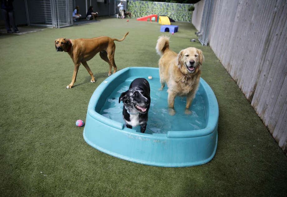 Golden retriever Ceili, right, stands in a small pool with a friend in the play area for dogs at the Morris Animal Inn Thursday, June 19, 2014, in Morristown, N.J. Female goldens are supposed to weigh 55 to 70 pounds but overweight Ceili weighs 126 pounds. (AP Photo/Mel Evans)