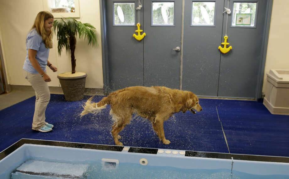 Staff worker Kelli Quinones gets wet as golden retriever Ceili shakes off water after a swimming exercise at the Morris Animal Inn Thursday, June 19, 2014, in Morristown, N.J. Female goldens are supposed to weigh 55 to 70 pounds but overweight Ceili weighs 126 pounds. The facility says she is very active but when they do stair climbing drills, she has to take a pause. (AP Photo/Mel Evans)