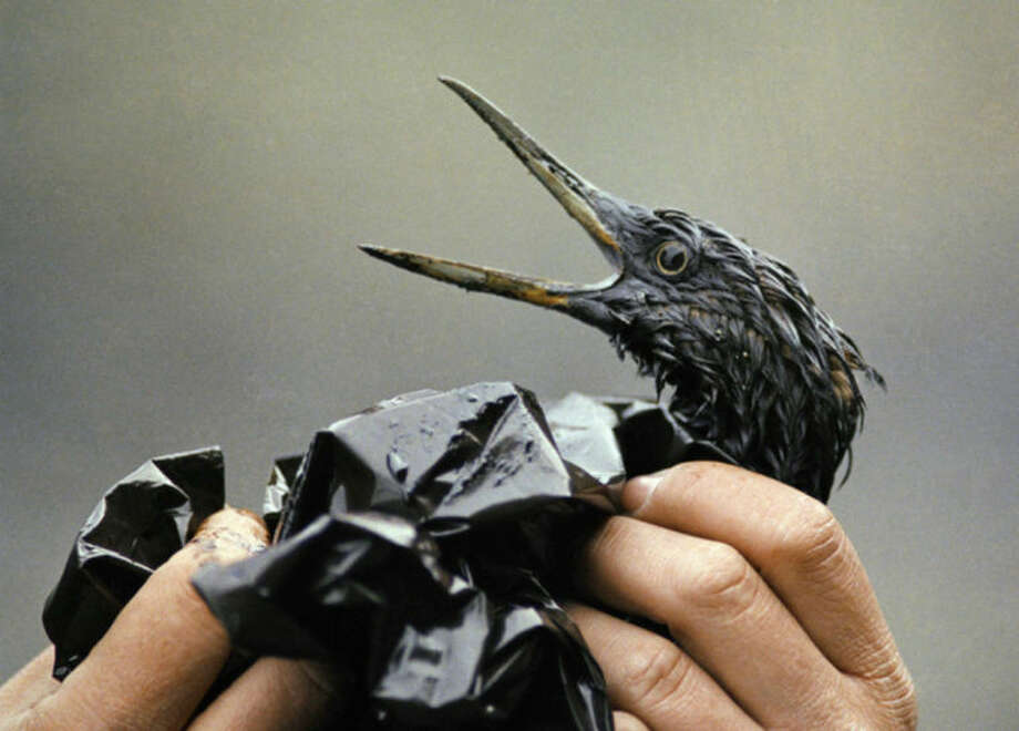 FILE - In this April 1989 file photo, an oil soaked bird is examined on an island in Prince William Sound, Alaska. Exxon Mobil Corp. was ordered Monday, June 15, 2009 to pay about $500 million in interest on punitive damages for the Exxon Valdez oil spill off Alaska, nearly doubling the payout to Alaska Natives, fishermen, business owners and others harmed by the 1989 disaster. The ruling was issued by the 9th U.S. Circuit Court of Appeals in San Francisco. Nearly 25 years after the Exxon Valdez oil spill off the coast of Alaska, some damage heals, some effects linger in Prince William Sound. (AP Photo/Jack Smith, File)