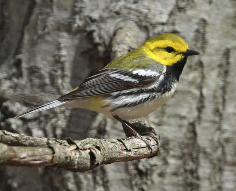 Photo by Chris BosakA Black-throated Green Warbler perches in a tree at Selleck's/Dunlap Woods on Sunday, May 4, 2014.