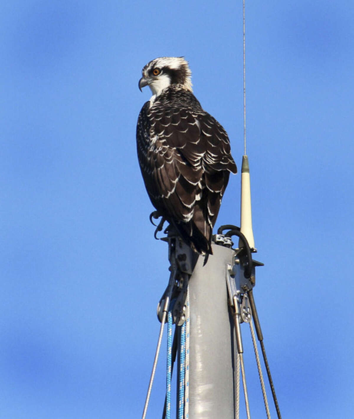 Photo by Chris Bosak A first-year Osprey sits on the top of a sailboat mast along the Norwalk River in Norwalk, Conn., summer 2015.