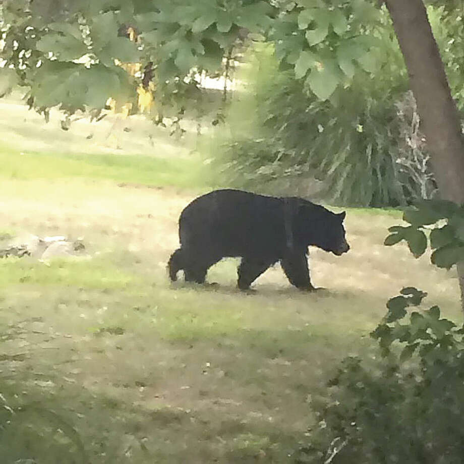 Wilton resident LIzette Roman-Johnston, a sophomore at Skidmore College, snapped a photo of this black bear walking across her family's backyard on Tuesday.