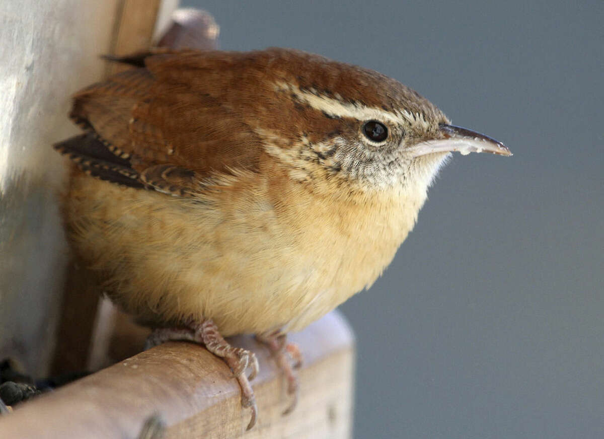 Photo by Chris Bosak Birdwatchers of all ages and skill levels can help track the population movements of the Carolina Wren and other birds by participating in the Great Backyard Bird Count, Feb. 13-16.