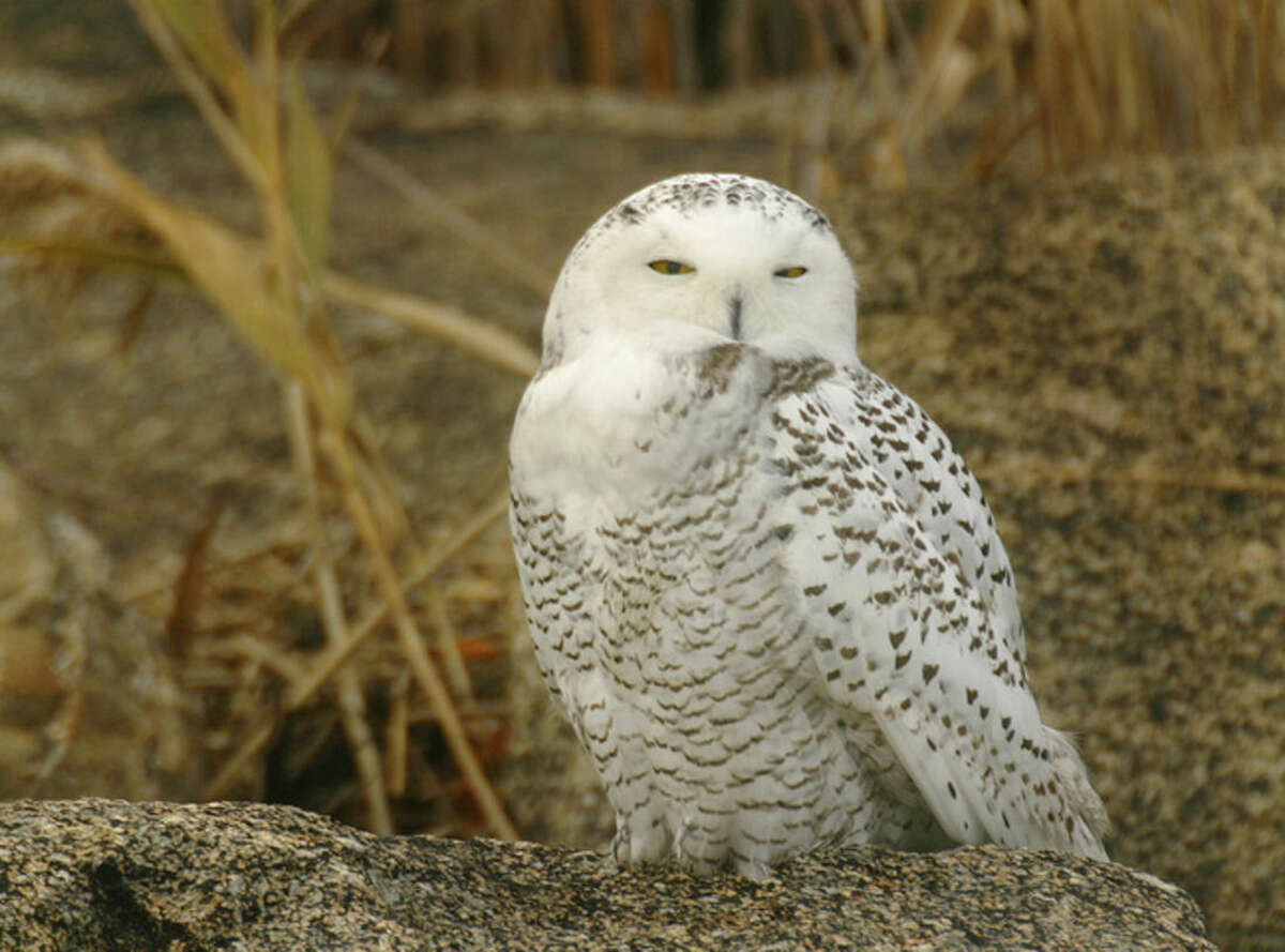 Photo by Chris Bosak A Snowy Owl perches on a rock near Long Island Sound in Norwalk in the fall of 2008.
