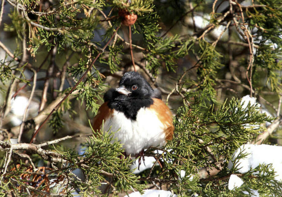 Photo by Chris BosakAn Eastern Towhee sits in a tree after a recent snowstorm this winter.
