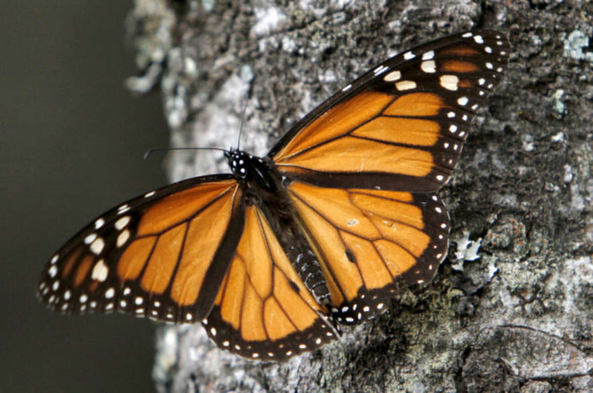 FILE - In this Dec. 9, 2011 file photo, a Monarch butterfly perches on a tree at the Sierra Chincua Sanctuary in the mountains of Mexico's Michoacan state. The number of Monarch butterflies wintering in Mexico has plunged to its lowest level since studies began in 1993. A report released on Wednesday, Jan. 29, 2014 by the World Wildlife Fund, Mexico?'s Environment Department and the Natural Protected Areas Commission blames the dramatic decline on the insect's loss of habitat due to illegal logging in Mexico?'s mountaintop forests and the massive displacement of its food source, the milkweed plant. (AP Photo/Marco Ugarte, File)