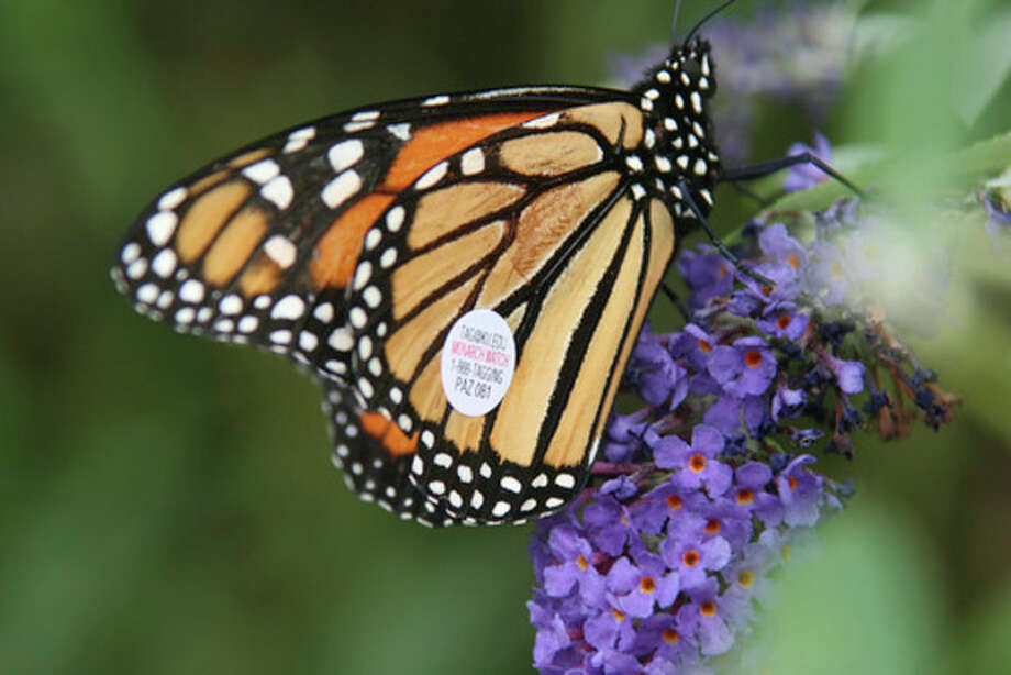 Photo by Chris BosakTagged monarch butterfly, found in New Haven, CT.