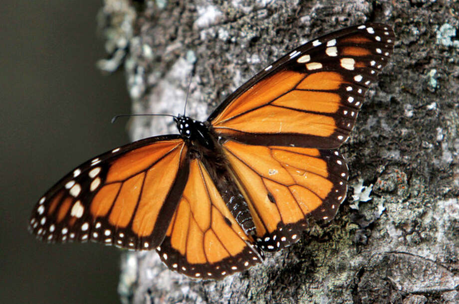 FILE - In this Dec. 9, 2011, file photo a Monarch butterfly sits on a tree trunk at the Sierra Chincua Sanctuary in the mountains of Mexico's Michoacan state. The amount of Monarch butterflies wintering in Mexico dropped 59 percent in 2013, falling to the lowest level since comparable record-keeping began 20 years ago, scientists reported Wednesday, March 13, 2013. (AP Photo/ Marco Ugarte, file) / AP