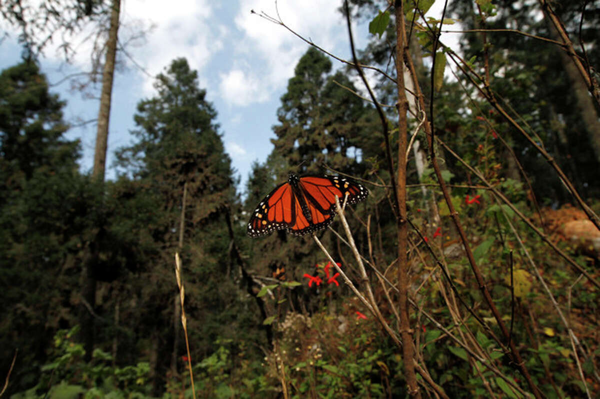 FILE - In this Dec. 9, 2011 file photo, a Monarch butterfly perches on a branch in the Sierra Chincua Sanctuary in the mountains of Mexico's Michoacan state. The Monarch butterflies arrive in central Mexico usually around the first week of November, after their yearly migration from Canada and begin their return around March. (AP Photo/ Marco Ugarte, File)