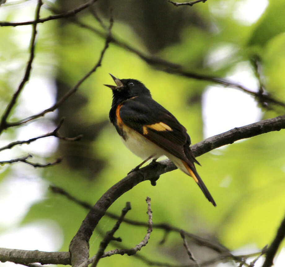 Photo by Chris BosakAn American Redstart sings from a perch in Selleck's and Dunlap Woods in Darien this week.