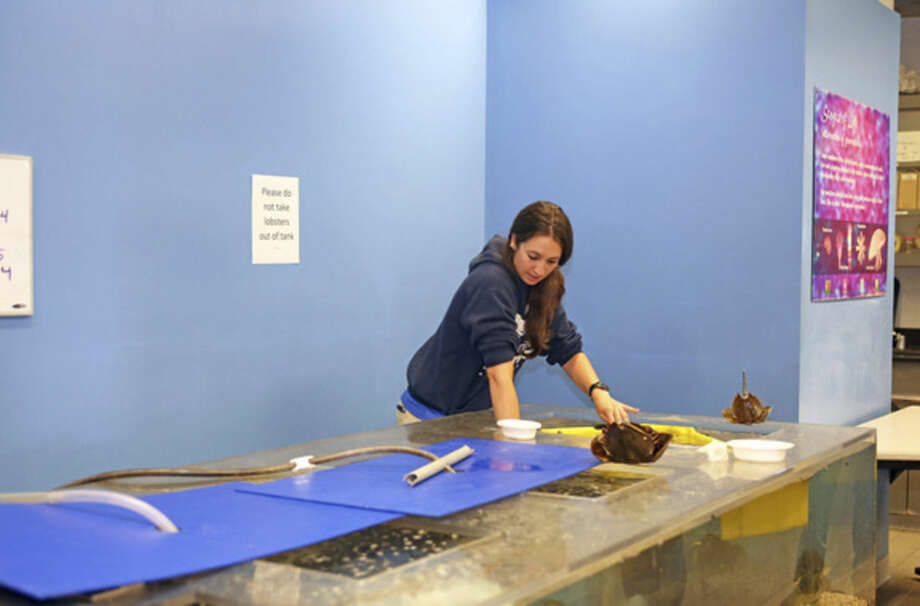 Sarah from the education department, teaches horseshoe crab feeding at the Maritime Aquarium in Norwalk Sunday morning.Hour Photo / Danielle Calloway