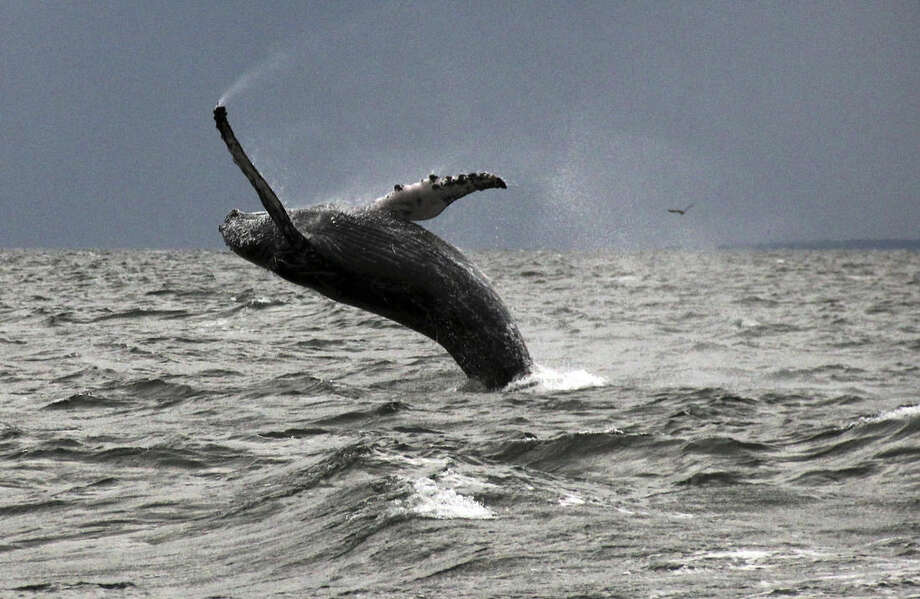 In this Sept. 12, 2015 photo provided by Dan Lent, a humpback whale breaches the water in Long Island Sound off the coast of Stamford, Conn. Biologists at the Maritime Aquarium at Norwalk, Conn., said whale sightings on the sound this year are the first in more than two decades. Experts said the whales apparently have been attracted by large schools of small fish, and they are imploring boaters to keep their distance. (Dan Lent via AP)