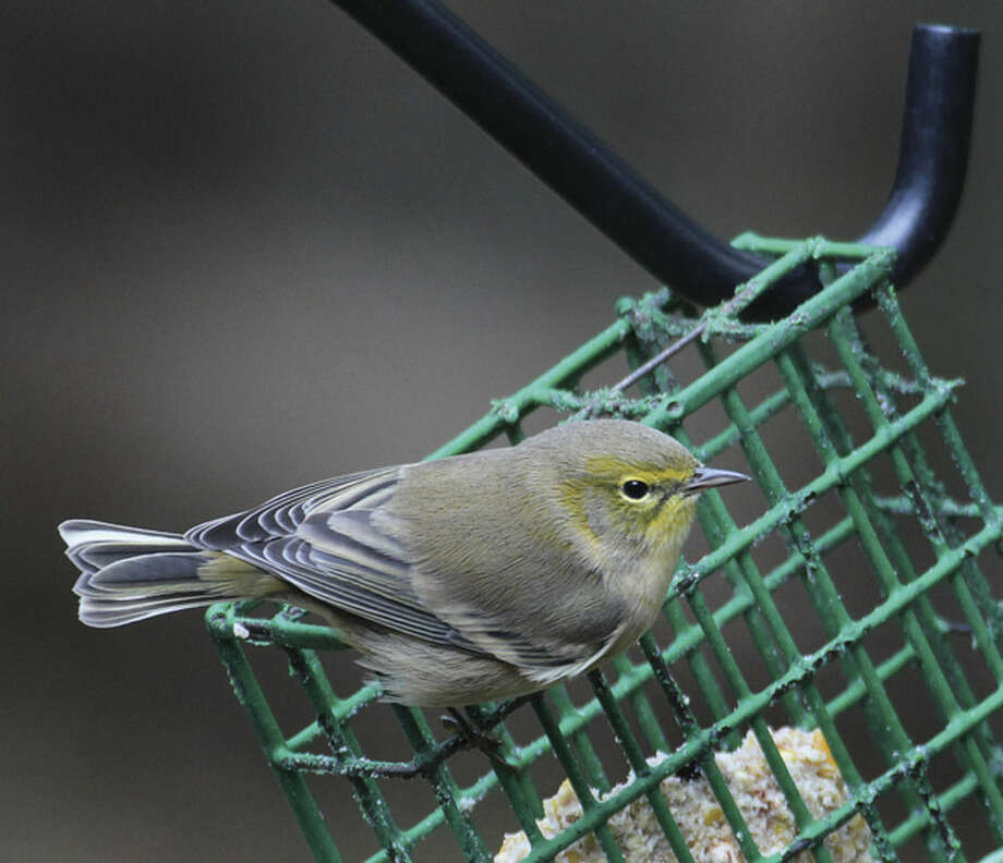 Photo by Chris BosakA Pine Warbler visits a feeder in New England in fall 2015.