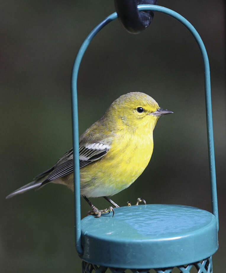 Photo by Chris BosakA Pine Warbler visits a feeder in New England this fall.