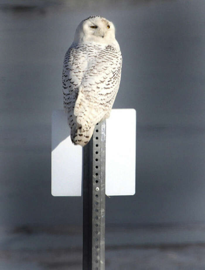 Photo by Chris BosakA Snowy Owl sits on a sign at The Coastal Center at Milford Point in early March 2014.