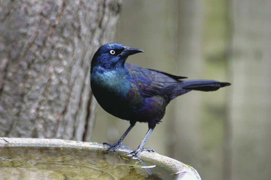 Photo by Chris BosakA Common Grackle visits a birdbath in New England.