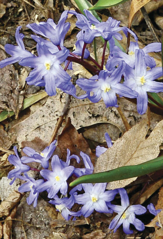 Hour photo / Erik Trautmann Siberian Squill grows on the Allen and East Rocks Rd. traffic island. National Volunteer Week April 6 through April Rick