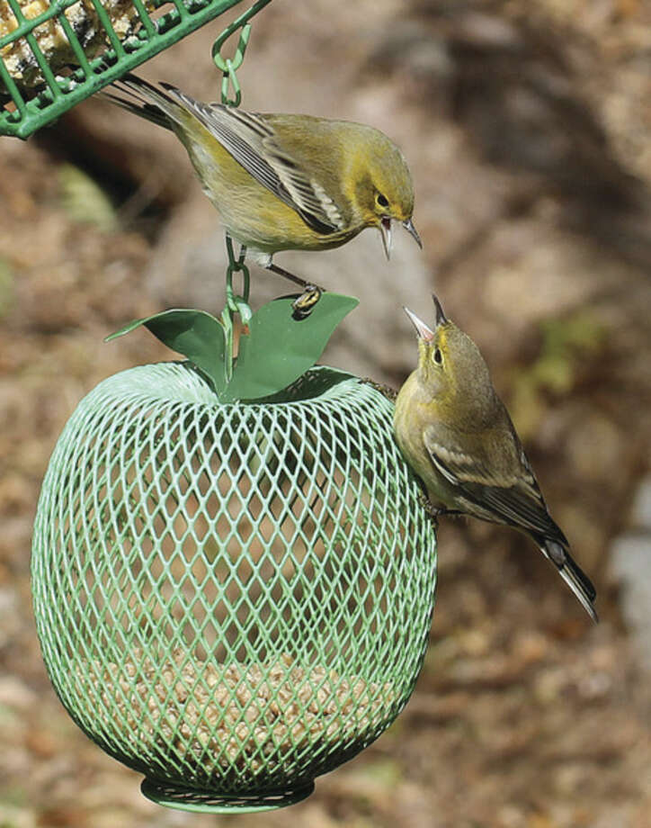 Photo by Chris BosakPine Warblers squabble over a birdfeeder in Danbury this fall. Pine Warblers are examples of a bird species that passes through during migration periods.