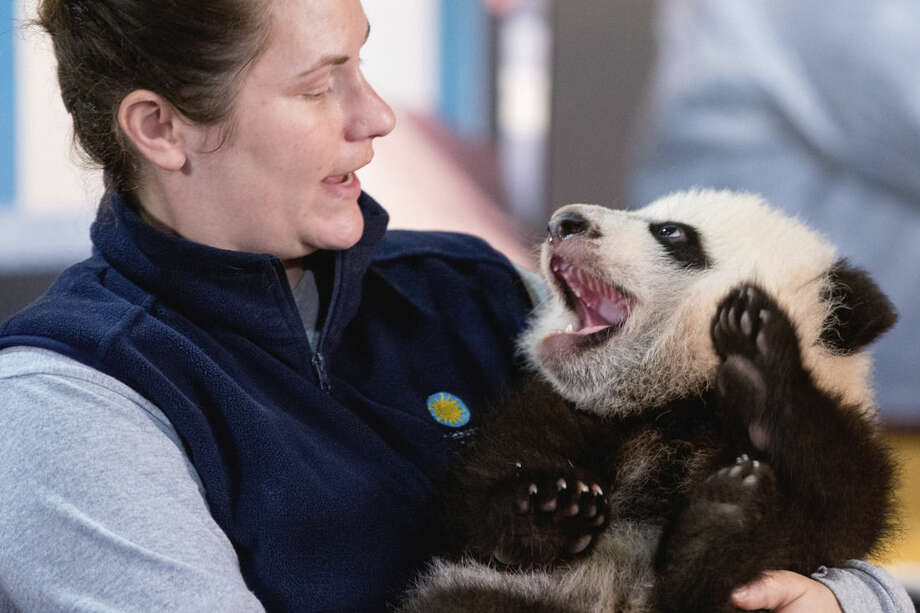 In this photo taken Dec. 14, 2015, animal keeper Stacey Tabellario holds Bei Bei, the National Zoo's newest panda and offspring of Mei Xiang and Tian Tian, as he is presented to members of the media at the National Zoo in Washington. The youngest giant panda cub at the National Zoo is ready for his close-up. Bei Bei will make his public debut on Jan. 16. During an audience with a small news media contingent Monday, he was so relaxed that he fell asleep and drooled on an examination table. At nearly 4 months old, Bei Bei weighs more than 17 pounds and is gaining about a pound a week. He's bigger than his older siblings were at the same age. (AP Photo/Andrew Harnik)