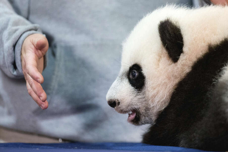 In this photo taken Dec. 14, 2015, animal keeper Nicole MacCorkle keeps a watchful hand near Bei Bei, the National Zoo's newest panda and offspring of Mei Xiang and Tian Tian, as he is displayed for members of the media at the National Zoo in Washington. The youngest giant panda cub at the National Zoo is ready for his close-up. Bei Bei will make his public debut on Jan. 16. During an audience with a small news media contingent Monday, he was so relaxed that he fell asleep and drooled on an examination table. At nearly 4 months old, Bei Bei weighs more than 17 pounds and is gaining about a pound a week. He's bigger than his older siblings were at the same age. (AP Photo/Andrew Harnik)