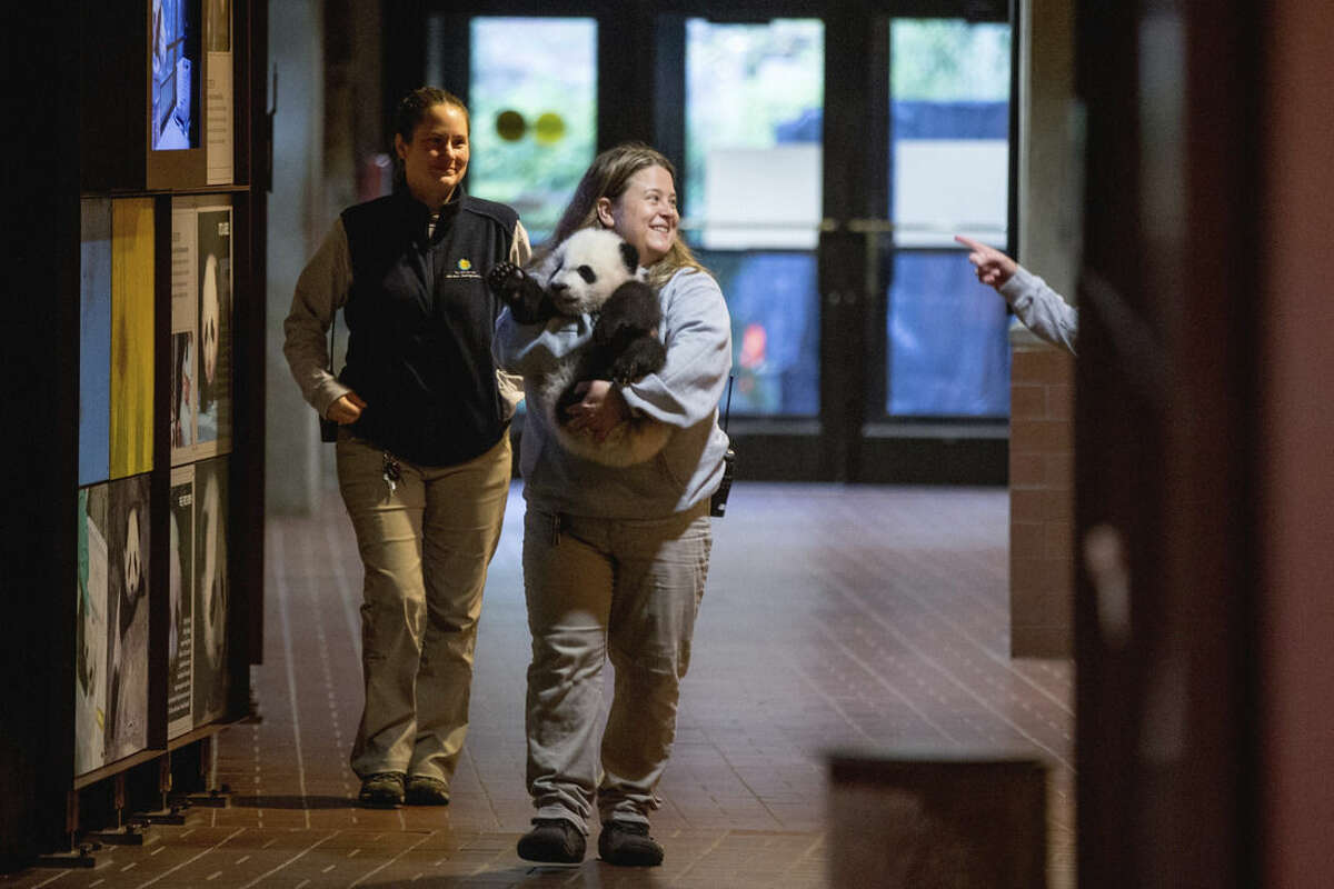 In this photo taken Dec. 14, 2015, animal keeper Nicole MacCorkle, accompanied by animal keeper Stacey Tabellario, left, carries Bei Bei, the National Zoo's newest panda and offspring of Mei Xiang and Tian Tian, to be weighed for members of the media at the National Zoo in Washington. The youngest giant panda cub at the National Zoo is ready for his close-up. Bei Bei will make his public debut on Jan. 16. During an audience with a small news media contingent Monday, he was so relaxed that he fell asleep and drooled on an examination table. At nearly 4 months old, Bei Bei weighs more than 17 pounds and is gaining about a pound a week. He's bigger than his older siblings were at the same age. (AP Photo/Andrew Harnik)