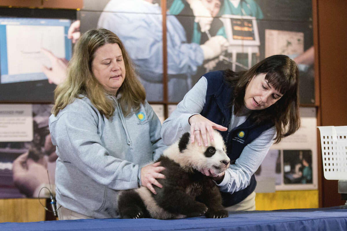 In this photo taken Dec. 14, 2015, animal keeper Nicole MacCorkle, left, and biologist Laurie Thompson, right, attempt to look at the teeth of Bei Bei, the National Zoo's newest panda and offspring of Mei Xiang and Tian Tian, in front of members of the media at the National Zoo in Washington. The youngest giant panda cub at the National Zoo is ready for his close-up. Bei Bei will make his public debut on Jan. 16. During an audience with a small news media contingent Monday, he was so relaxed that he fell asleep and drooled on an examination table. At nearly 4 months old, Bei Bei weighs more than 17 pounds and is gaining about a pound a week. He's bigger than his older siblings were at the same age. (AP Photo/Andrew Harnik)