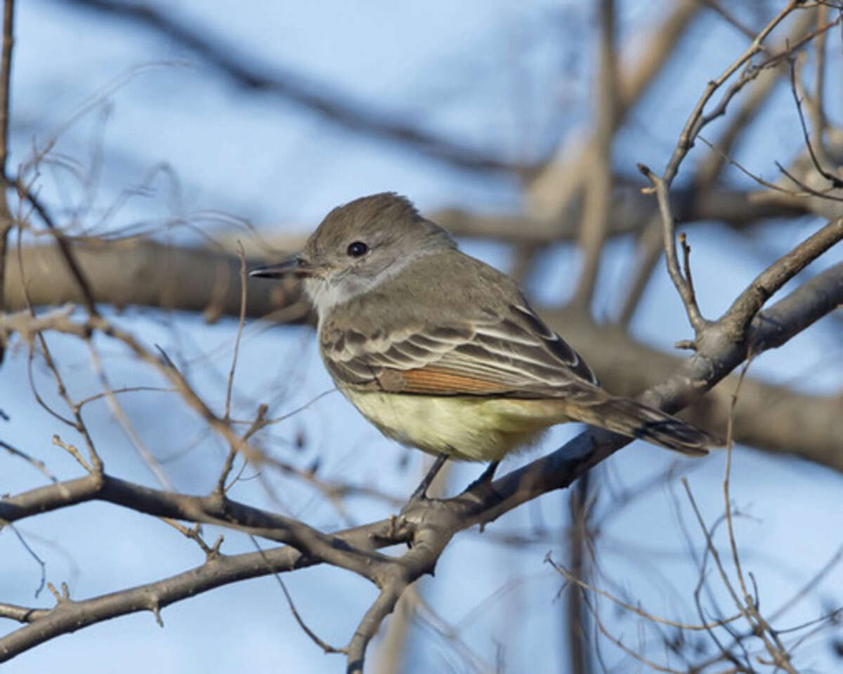 Photo by A.J. Hand An Ash-throated Flycatcher has been seen this fall in Sherwood Island State Park.