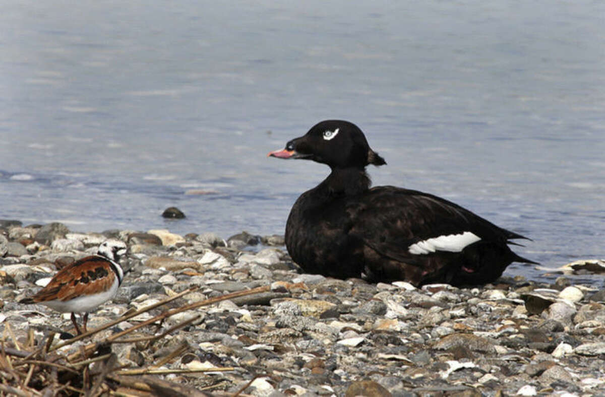 Photo by Chris Bosak A White-winged Scoter rests on the beach as a Ruddy Turnstone, left, shares the area at Coastal Center at Milford Point this spring.