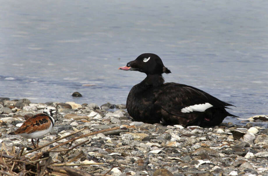 Photo by Chris BosakA White-winged Scoter rests on the beach as a Ruddy Turnstone, left, shares the area at Coastal Center at Milford Point this spring.