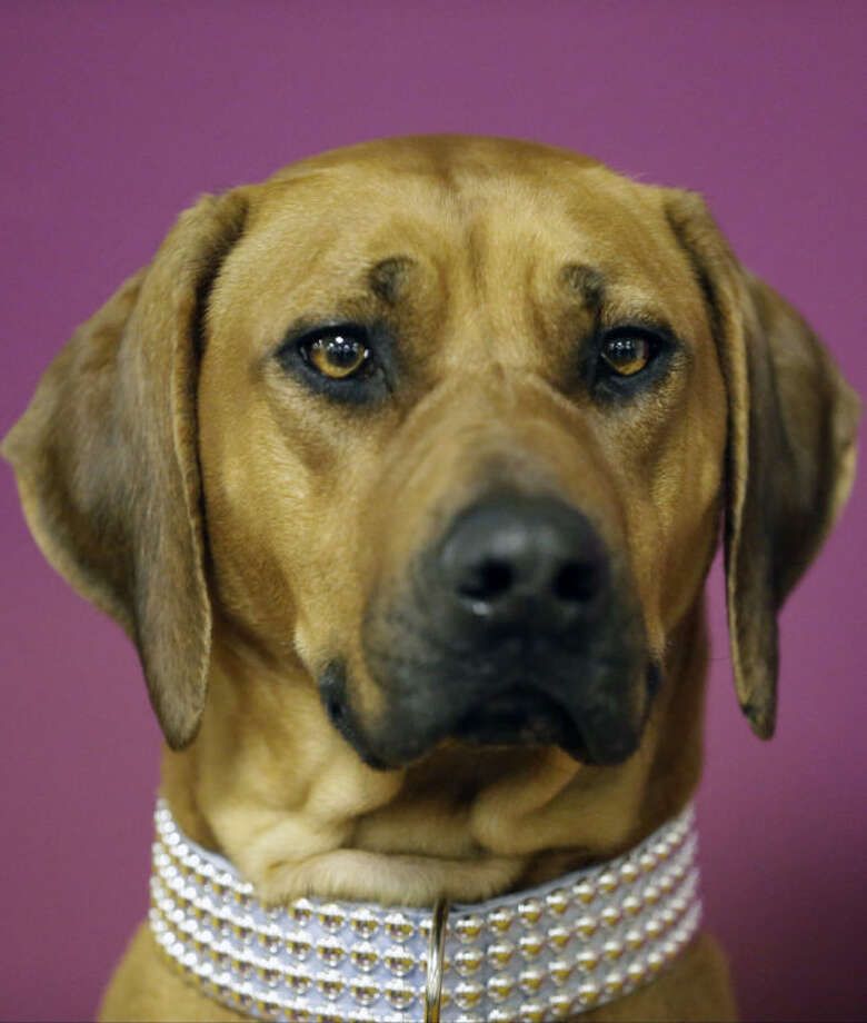 Raquel, a Rhodesian ridgeback, waits for competition to begin before the 138th Westminster Kennel Club dog show, Monday, Feb. 10, 2014, in New York. (AP Photo/Frank Franklin II)