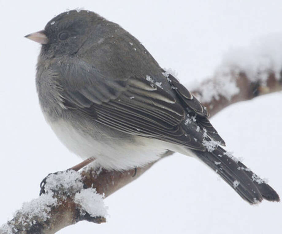 Photo by Chris BosakDark-eyed Junco during Jan. 2014 snowstorm.