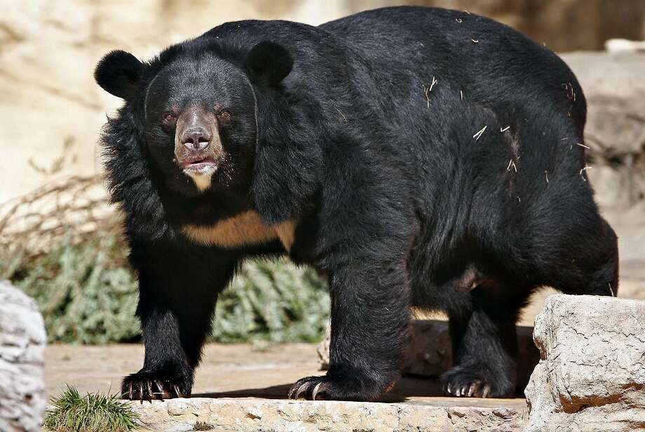 A fully grown Asiatic black bear named Bentley relaxes at the San Antonio Zoo. A Chinese family recently surrendered an Asiatic black bear that they raised for two years thinking it was a Tibetan mastiff. Photo: NICOLE FRUGE, SAN ANTONIO EXPRESS-NEWS