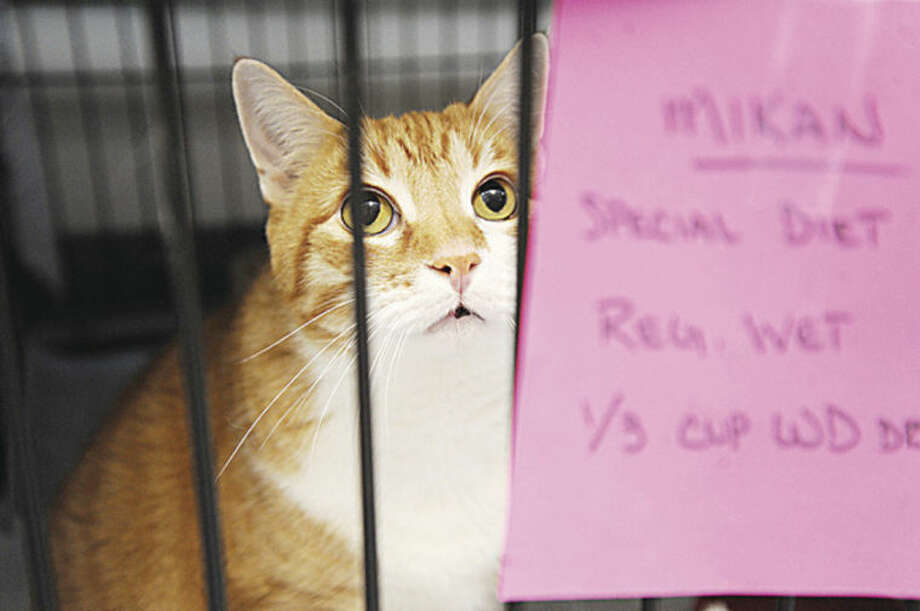 Mikan who is around 10 years old one of around 100 cats up for adoption at PAWS in Norwalk. Hour photo/Matthew Vinci