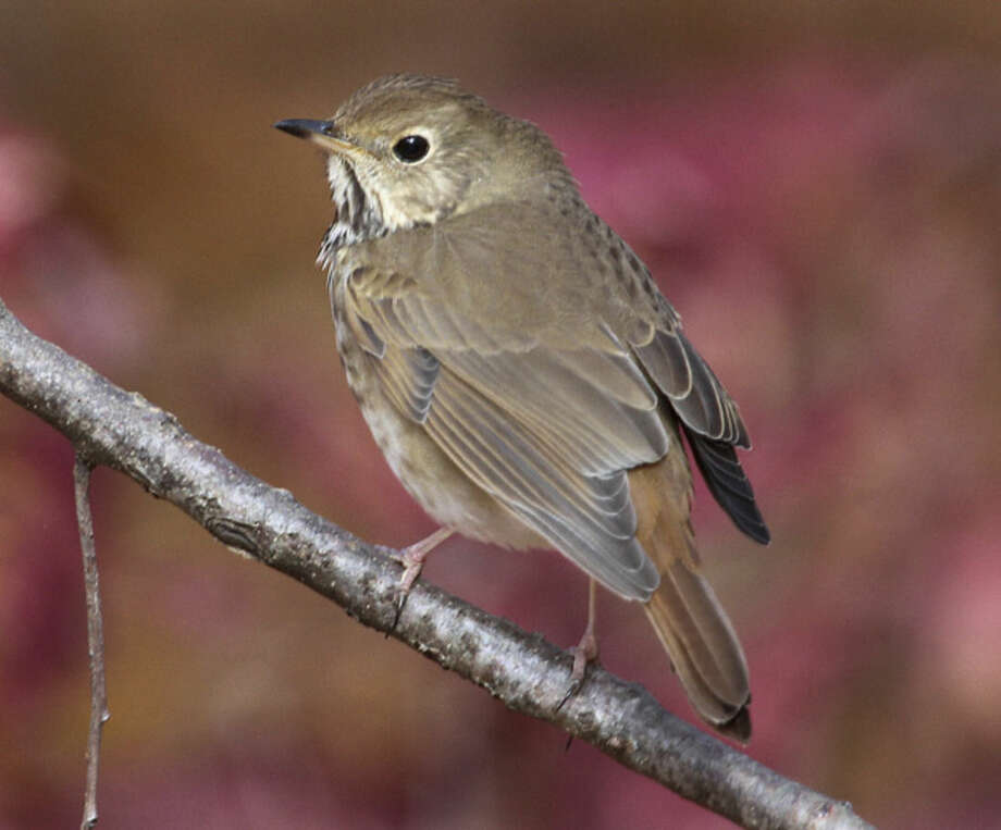 Photo by Chris BosakA Hermit Thrush perches on a branch at Selleck's/Dunlap Woods in Darien near the Norwalk line.