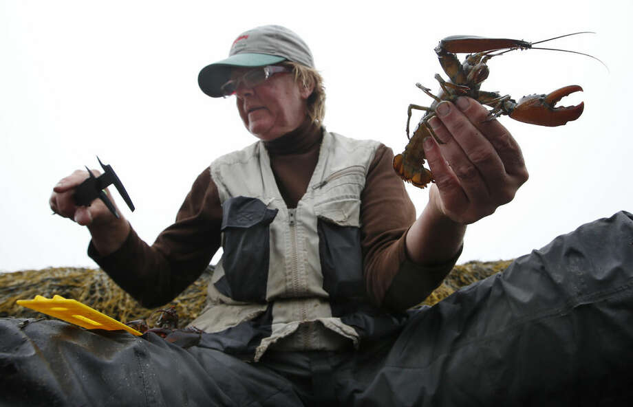 In this Wednesday, Aug. 13, 2014 photo, Diane Cowan, executive director and senior scientist of the Lobster Conservancy, reads a caliper while measuring a juvenile lobster on the shore of Friendship Long Island, Maine. The Gulf of Maine, where Cowan has been studying the lobster population for more than two decades, is warming faster than more than 99 percent of the world's oceans. The temperature rise is prompting fears about the future of one of the Atlantic's most unusual ecosystems and the industries it supports. (AP Photo/Robert F. Bukaty)