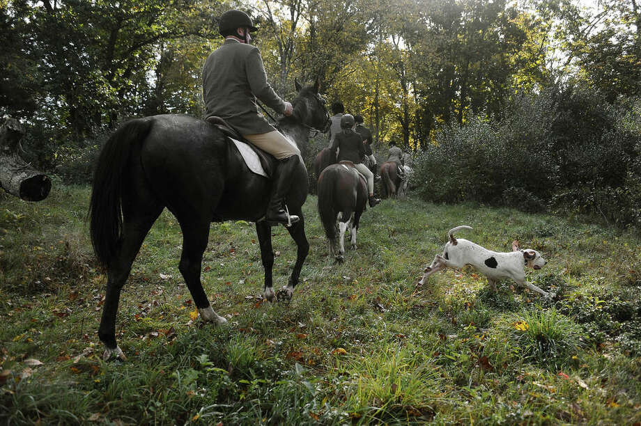 In this Wednesday, Oct. 8, 2014 photo, a hound crosses paths with riders from Fairfield County Hounds during a hunt in Bridgewater, Conn. At the last fox-hunting club in the state, it's been three years since the last fox sighting and coyotes have become the hunters' new quarry. Coyotes run fast and in rugged terrain they are nearly impossible to catch. None were caught this day. (AP Photo/Jessica Hill)