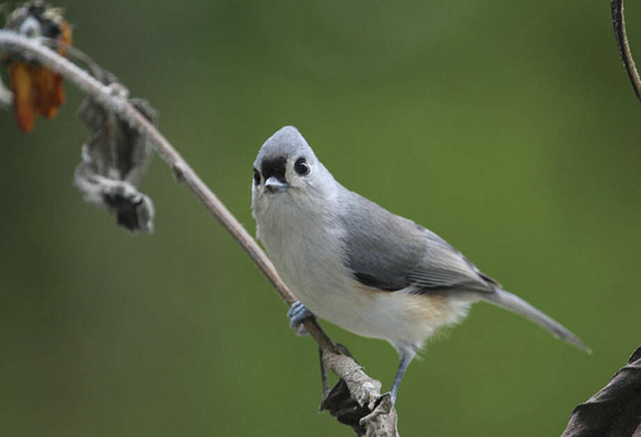 Photo by Chris BosakA Tufted Titmouse perches on a branch of a fading sunflower before heading to a nearby birdfeeder.