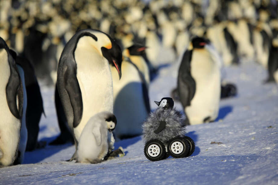 This photo provided by Frederique Olivier/John Downer Productions shows a remote-controlled roving camera camouflaged as a penguin chick in Adelie Land, Antarctica. The device is so convincing that penguins don't scamper away and sometimes even sing to it with trumpet-like sounds. Emperor penguins are notoriously shy. When researchers approach, they normally back away and their heart rate goes up, which is not what the scientists need when they want to check heart rate, health and other penguin parameters. (AP Photo/Frederique Olivier, Downer Productions)