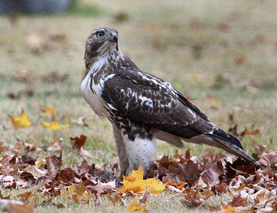 Photo by Chris BosakA Red-tailed Hawk eats a Gray Squirrel in a cemetery in Darien, Conn., Oct. 2014.