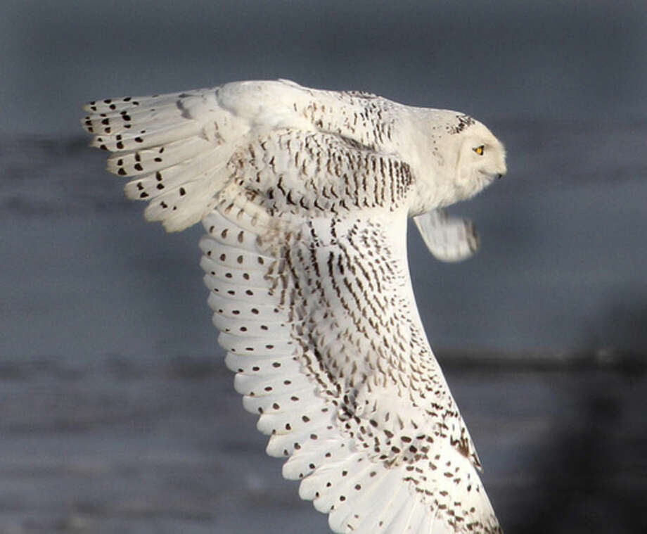 Photo by Chris BosakA Snowy Owl flies across the beach at The Coastal Center at Milford Point in early March 2014.