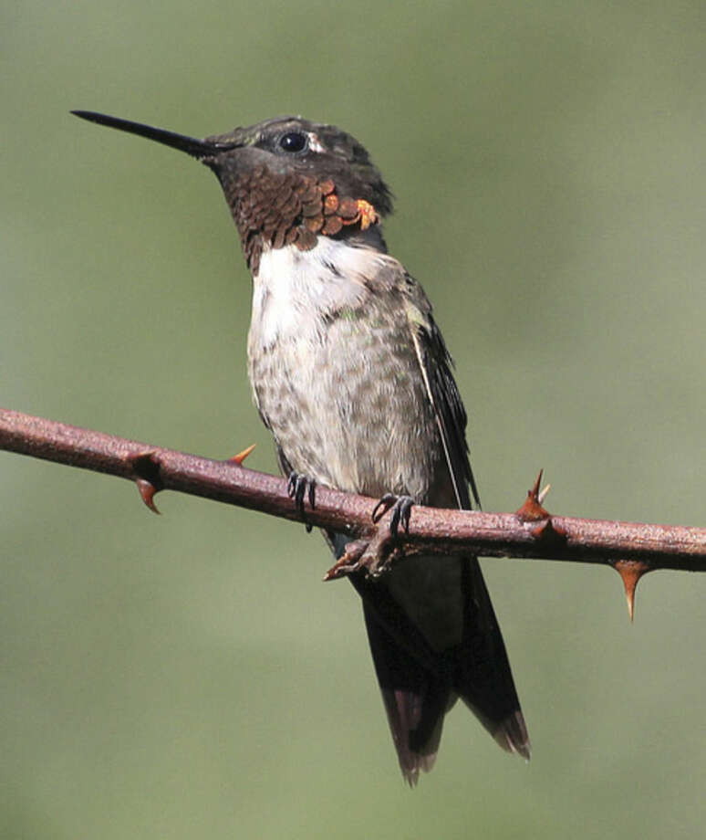 Photo by Chris BosakA male Ruby-throated Hummingbird perches on a thorny branch in Norwalk, Conn., summer 2014.