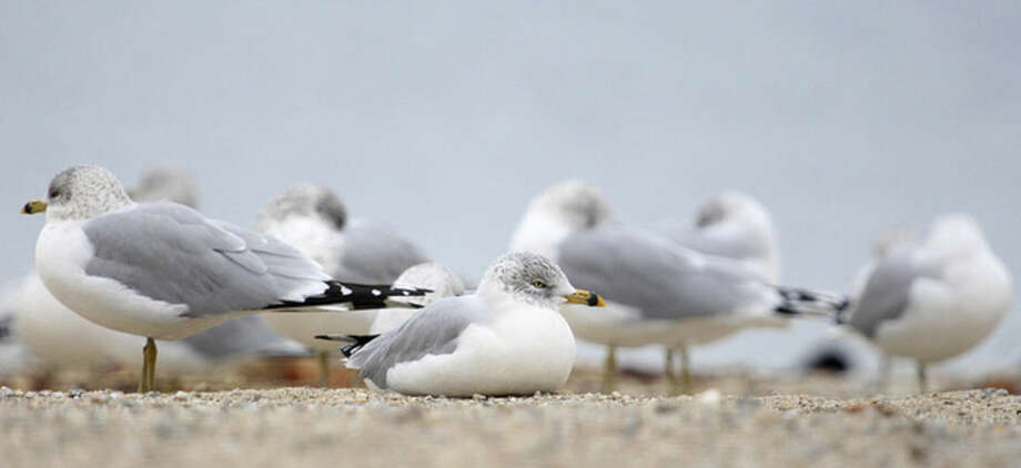 Photo by Chris BosakRing-billed Gulls at Calf Pasture Beach in Norwalk seen during the 115th Christmas Bird Count.