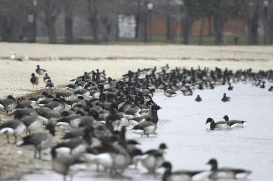 Photo by Chris BosakBrant at Calf Pasture Beach in Norwalk, Conn., seen during the 115th Christmas Bird Count.