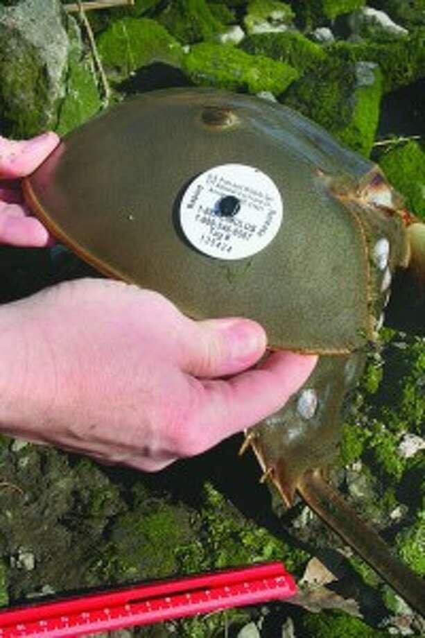 Volunteers needed to help tag horseshoe crabs with Maritime Aquarium at Norwalk