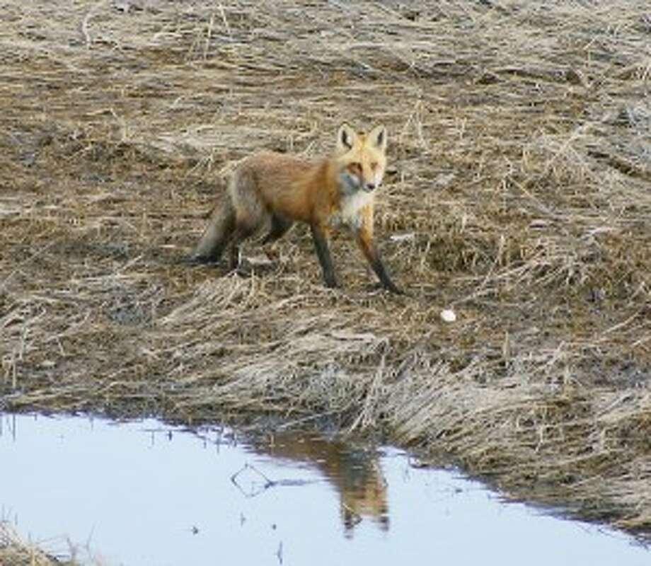 Red fox in Village Creek
