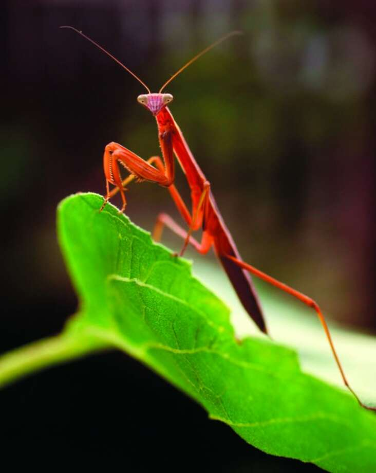 A praying mantis rests on a leaf in Muncie, Ind., Wednesday, July 20, 2011. (AP Photo/The Star Press, Chris Bergin)