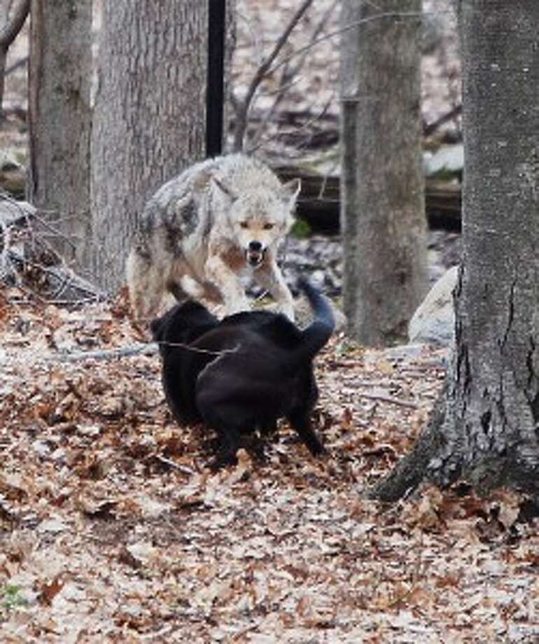Wilton homeowner snaps gripping photo of snarling coyote