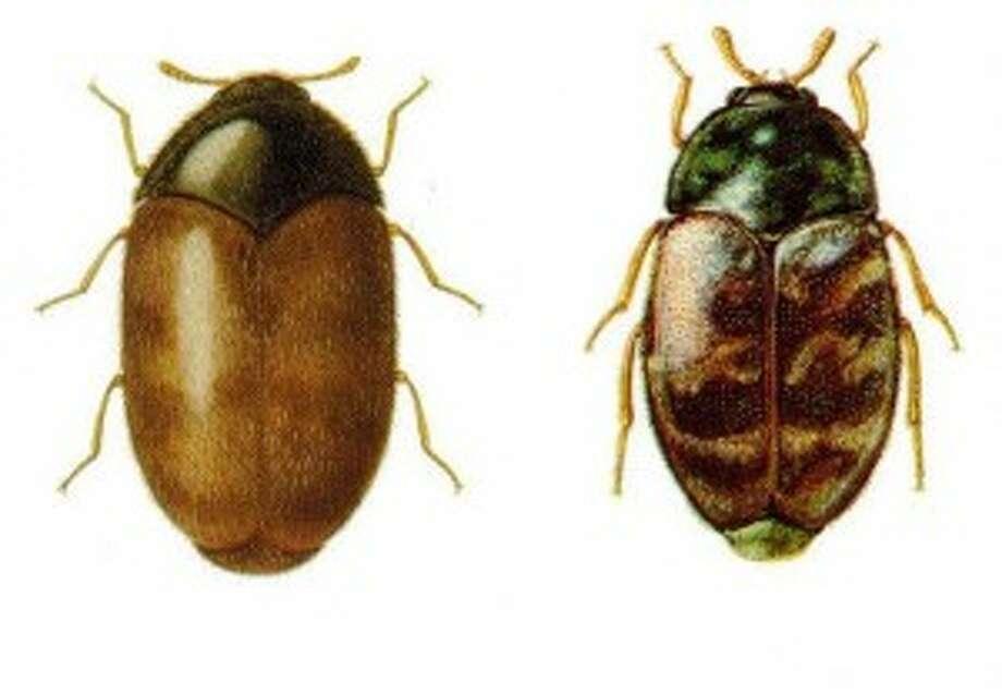 Khapra Beetle interceptions surpasses 2010 numbers - Beetles considered most destructive pest