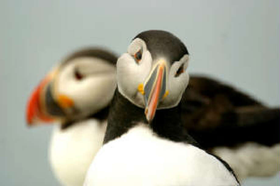 Who doesn't love puffin photos?