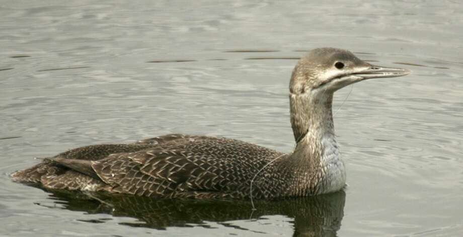 Red-throated loon with fishing line in its mouth